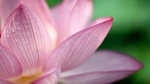 EasternSuburbsPsychotherapy_Lotus